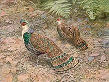 Борнейский павлиний фазан, автор Джордж Эдвард Лодж.jpg