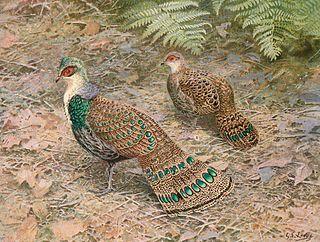 Bornean peacock-pheasant species of bird