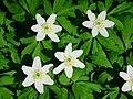 Bosanemoon (Anemone nemorosa) (16535499734).jpg