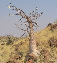 Apocynaceae: Pachypodium lealii, stem succulent Bottle-tree.jpg