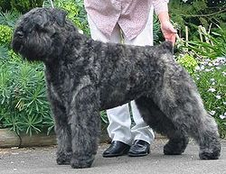 Bouvier des Flandres Top Guard Dog