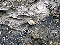 Brachiopods in fossiliferous limestone (Jeffersonville Limestone, Middle Devonian; Falls of the Ohio, southern Indiana, USA) 13 (33466443645).jpg