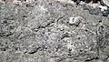 Brachiopods in fossiliferous limestone (Jeffersonville Limestone, Middle Devonian; Falls of the Ohio, southern Indiana, USA) 3 (33425828156).jpg