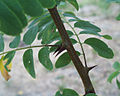 Branche de Robinier faux-Acacia.jpg