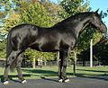 Bridon Belfrey, RID, Irish Draught Stallion.jpg