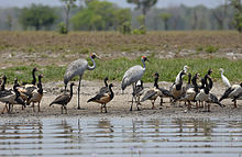 A pair of brolgas amongst other waterbirds in the Northern Territory