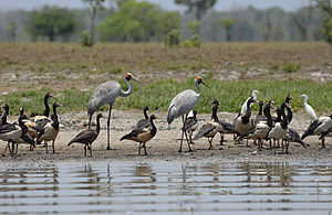 Brolga - A pair of brolgas amongst other waterbirds in the Northern Territory