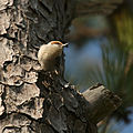 Brown-headed Nuthatch Pt Lookout SP, St. Mary's Co..jpg