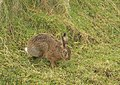 Brown Hare - geograph.org.uk - 351183.jpg