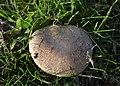 Brown Mushroom (2).jpg