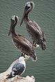 Brown Pelicans, UCSB Lagoon.jpg