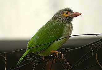 Brown-headed barbet - A picture of brown headed barbet at Chandigarh, India.