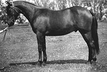 Black-and-white photo of a well-groomed Brumby standing sideways to the camera, wearing a Barcoo bridle but no saddle, set up in a squared-up conformation stance, as if at a horse show.