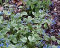 Brunnera macrophylla - Floraison.jpg