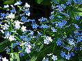 Brunnera macrophylla 02.JPG