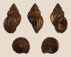 Buccinum undatum - Hydractinia echinata 07.JPG