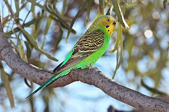 Budgerigar - Flaking brown cere indicates female in breeding condition