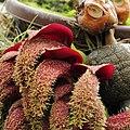 Bulbophyllum phalaenopsis-IMG 2146.jpg