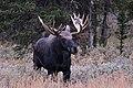 Bull Moose (50437399781).jpg