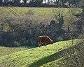 Bullock, Westerland - geograph.org.uk - 757340.jpg