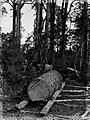 Bullocks pulling kauri log (AM 86115-1).jpg