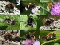 Bumblebee-mimicking Hoverflies.jpg