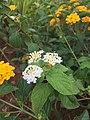 Bunga Saliara.jpg