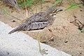 Burhinus vermiculatus (45062595375).jpg