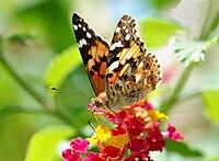 Butterfly August 2008-4.jpg