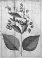 C.M.de La Condamine, Sur l'arbre du quinquin Wellcome L0031390.jpg