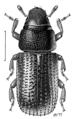 COLE Curculionidae Stenoscelis hylastoides.png