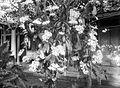 COLLECTIE TROPENMUSEUM Bloeiende Phalaenopsis vlinderorchideeën TMnr 10024222.jpg