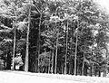 COLLECTIE TROPENMUSEUM Cultuurtuin met guttaperchabomen in Buitenzorg TMnr 60020142.jpg