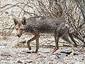 COYOTE (Canis latrans) (5-22-13) death valley area, ca (1) (9060836274).jpg