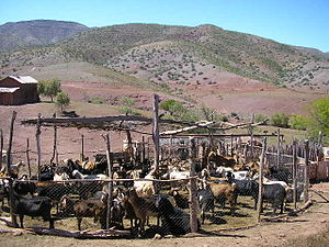 Overgrazing - Immobilized goat herd inside of a pen in an overgrazed habitation of Norte Chico, Chile