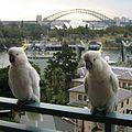 Cacatua galerita -Sydney Harbour-2-4cr.jpg