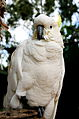 Cacatua galerita -upper body -Queensland-8c.jpg