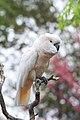 Cacatua moluccensis -Cincinnati Zoo, Ohio, USA-8a.jpg