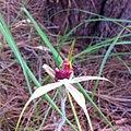Caladenia ensata.jpg