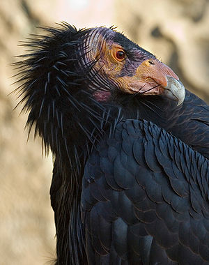 California-Condor3-Szmurlo edit.jpg