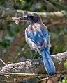 California Scrub Jay (50183617226).jpg