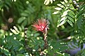 Calliandra haematocephala 10zz.jpg