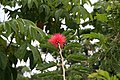 Calliandra haematocephala 23zz.jpg