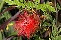 Calliandra haemetocephalaRHu3.JPG