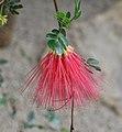 Calliandra purpurea flower.jpg