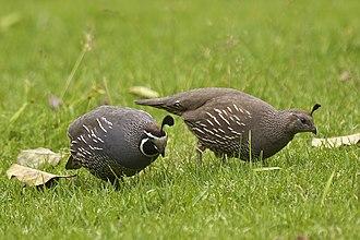 California quail - Image: Callipepla californica LC0242