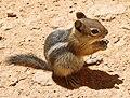 Callospermophilus lateralis Bryce Canyon.jpg