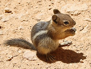 Golden-mantled ground squirrel - Side view, Bryce Canyon, Utah