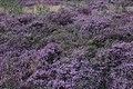 Calluna vulgaris (37074092250).jpg