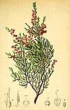 Calluna vulgaris Atlas Alpenflora.jpg